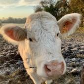 La vache !  Ce que le temps passe vite… 🐄🐮 Voilà juste comme ça ! 😉 Et puis elle est bien mignonne! • • • • #blaqandco #campagne #vacances #cow #marguerite #winter